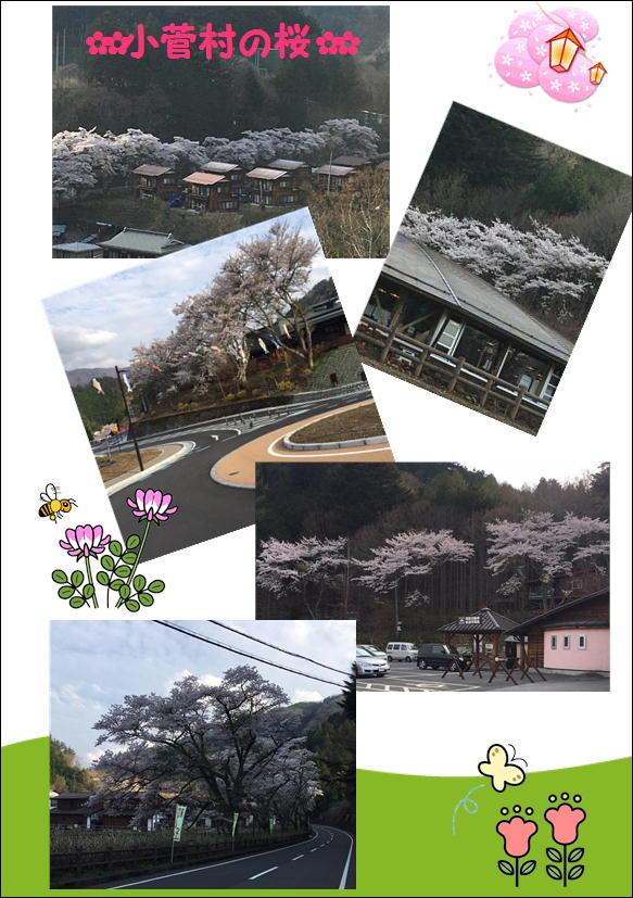 小菅村の桜